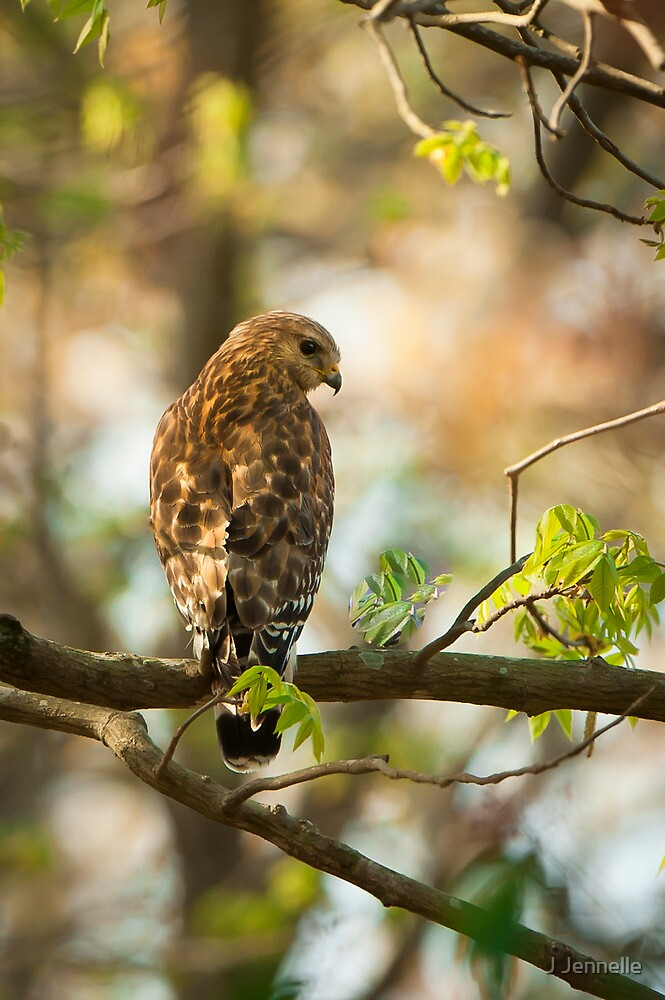 Red Shouldered Hawk On The Hunt by Joe Jennelle