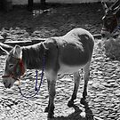 Donkey's in BW with a splash of colour   by LorrieBee