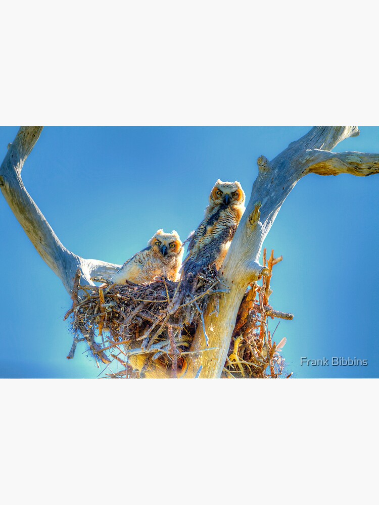 Great Horned Owl Chicks by organicman2