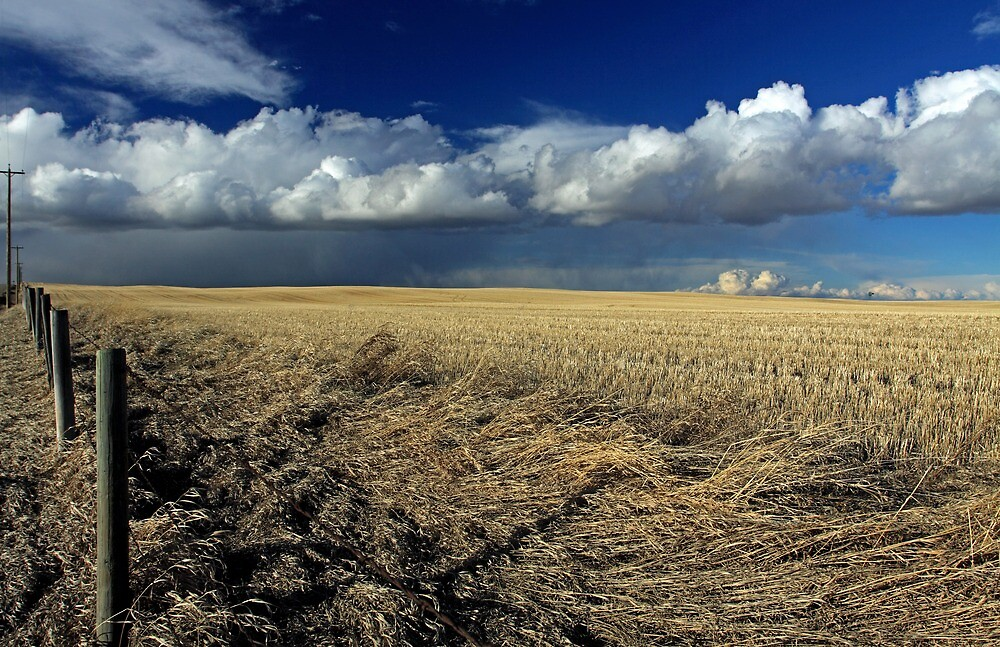 Alberta, Skies of blue and fields of gold by Michael Collier
