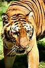 Female Bengal Tiger by Carole-Anne