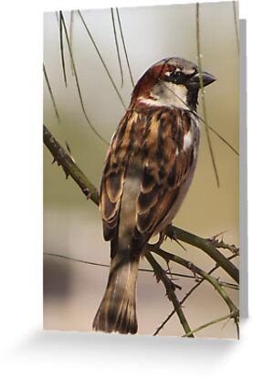 House Sparrow (Male~Breeding Plumage) by Kimberly Chadwick