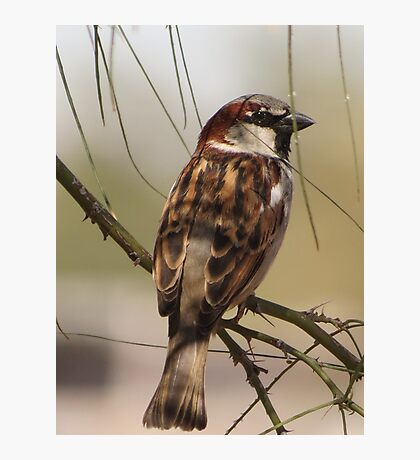 House Sparrow (Male~Breeding Plumage) Photographic Print