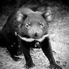 Tasmanian Devil - juvenile by tarnyacox