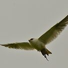 """ Black Shouldered Kite "" by helmutk"