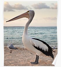 Pelican, Monkey Mia Beach Poster