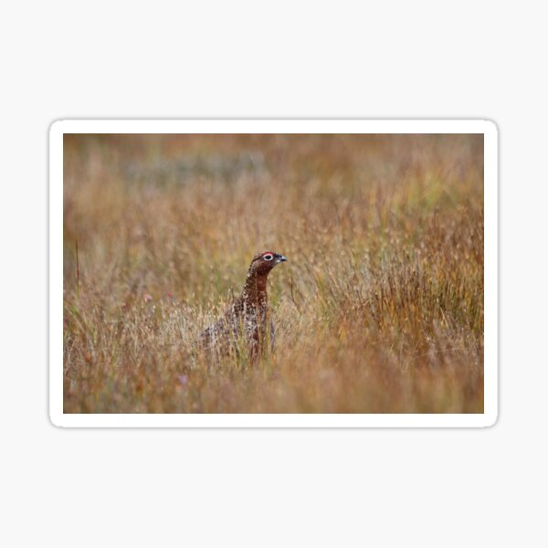 Red grouse Sticker