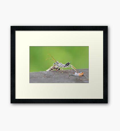 Wheel Bug Nymph (Arilus cristatus) Framed Print