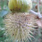 Datura - Seed Pod by myhobby