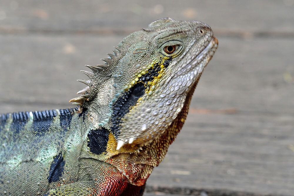 Quot The Australian Eastern Water Dragon Brisbane Queensland