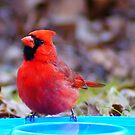 Cardinal by the Pool by BLemley