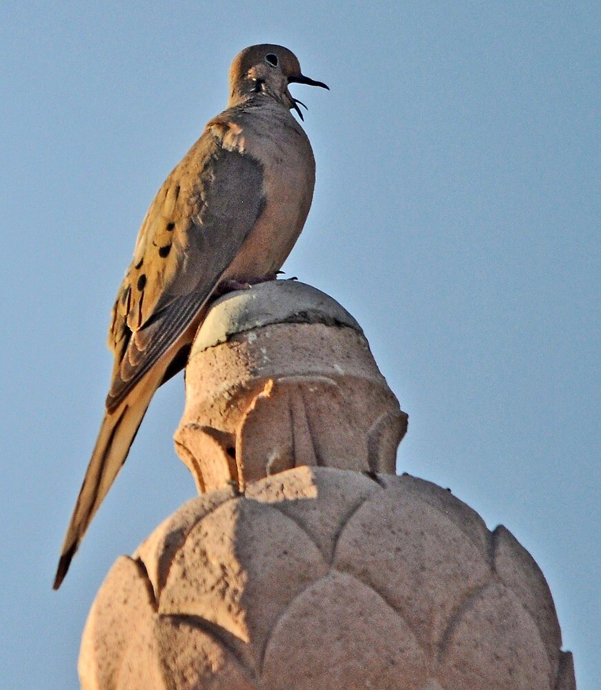 MALE DOVE CALLING HIS MATE by JAYMILO