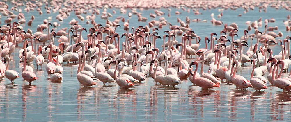 Flamingos and Flamingos..... by Carole-Anne