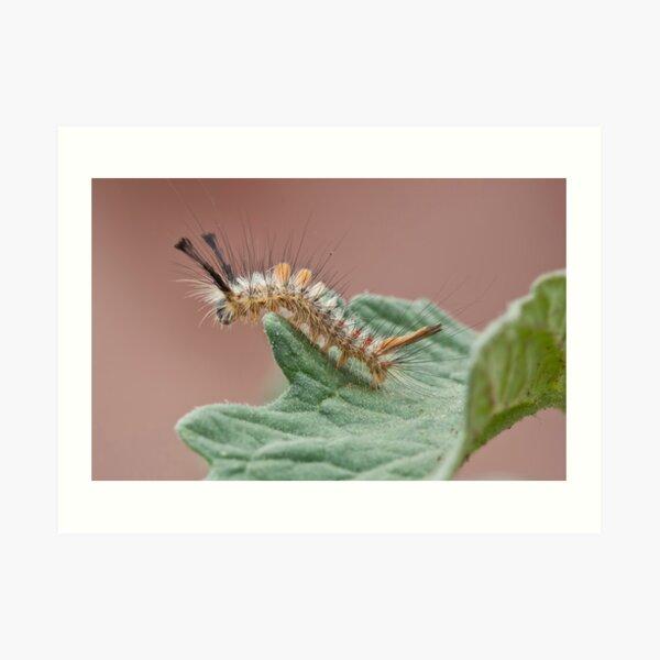 Tussock Moth Caterpillar Art Print