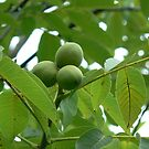 young fig's balls by LisaBeth