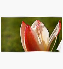 Tulip Split Poster