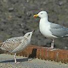 2nd year Herring Gull Begging by Robert Abraham