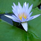 Water Lily by Marilyn Grimble