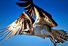 Osprey in Flight by Frank Bibbins