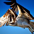 Osprey in Flight by Frank Bibbins