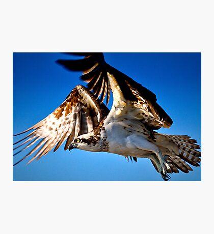 Osprey in Flight Photographic Print