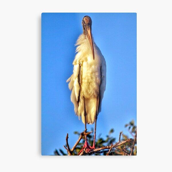 Wood Stork Chick Metal Print