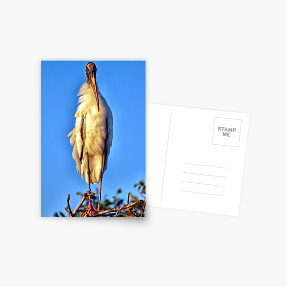 Wood Stork Chick Postcard