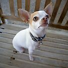 Roxie the Chihuahua by Glennis  Siverson