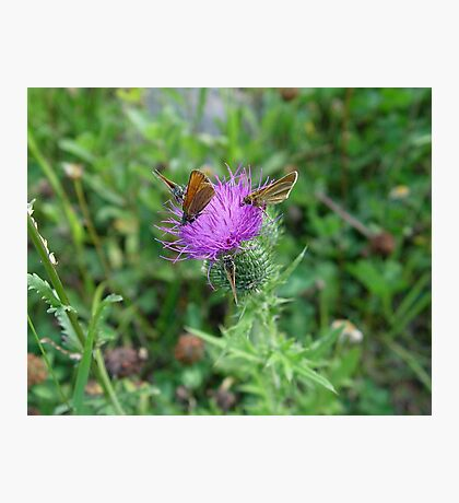 SKIPPERS IN THISTLE Photographic Print