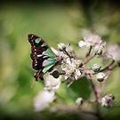 ~ Butterfly - McLeay's Swallowtail ~ by Leeo