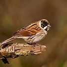 Reed Bunting by M.S. Photography/Art