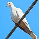 Albino Mourning Dove by Chuck Gardner