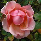November rose by MarianBendeth