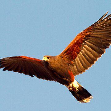 Harris' Hawk by mcollins