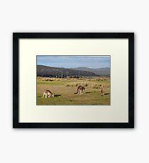 Kangaroos at Narawntapu Framed Print