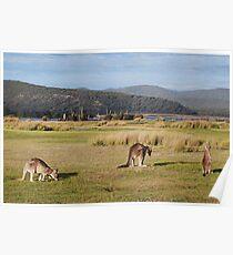 Kangaroos at Narawntapu Poster