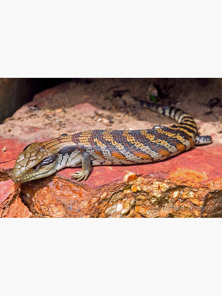Baby Bluetongue Lizard by RICHARDW