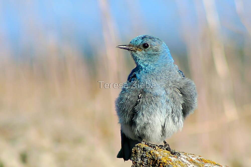 Mountain Bluebird by Teresa Zieba