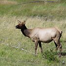 ELK DOE - YELLOWSTONE PARK by May Lattanzio