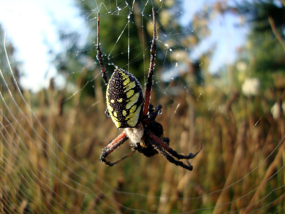 Orb Weaver by emilycolors