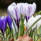 Signs Of Spring by Lynne Morris