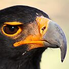 Verraux's or Black eagle.  by Greg Parfitt