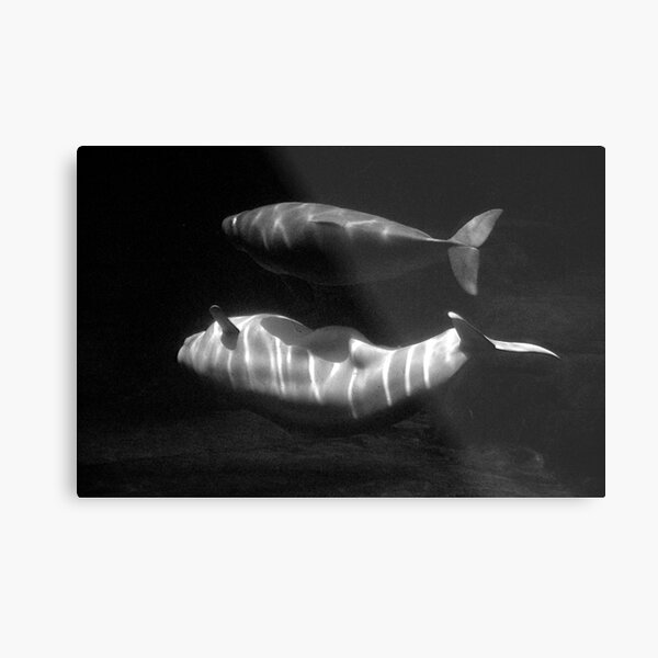 Beluga and baby Metal Print
