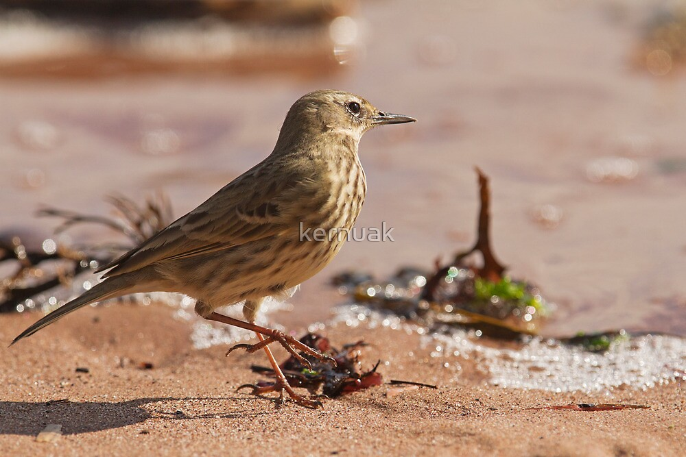 Rock Pipit at the Waterline by kernuak