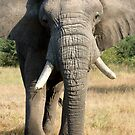 Bull Elephant In Full Musth by Michael  Moss