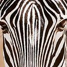 Zebra by gfydad