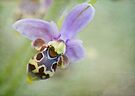 bee orchid by Teresa Pople
