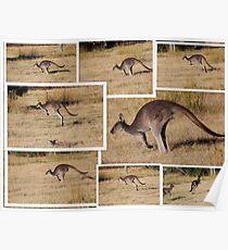 Kangaroos  Hopping Poster