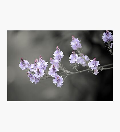 New Zealand Lilac Photographic Print