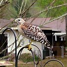 Urban Red Shouldered Hawk by Judy Wanamaker